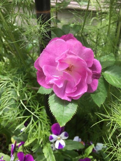 ローズヒップから育てた薔薇