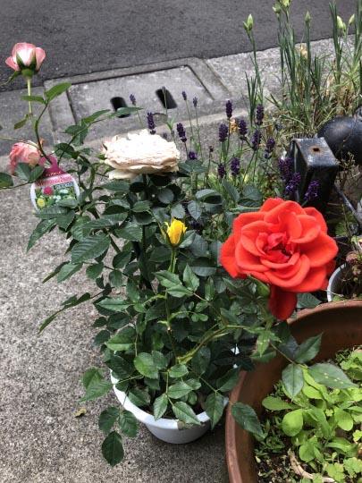 色々な色のバラ