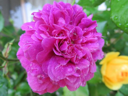 紫玉(しぎょく)